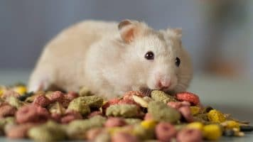 Best Foods for Hamster