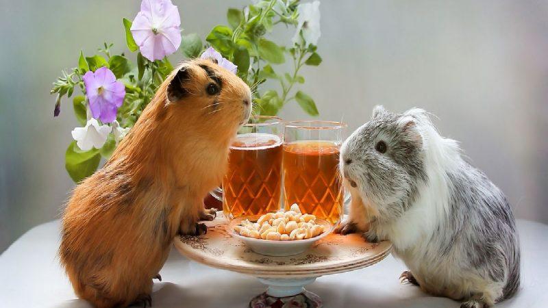 Best guine pig food