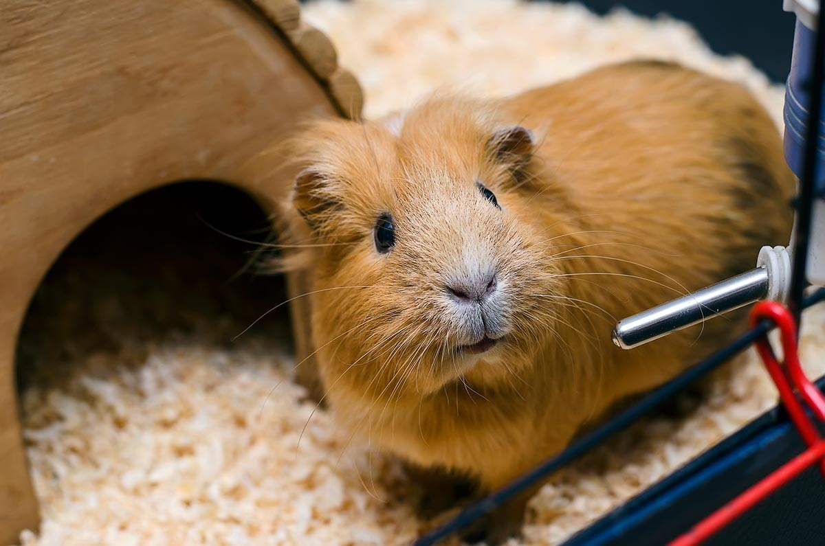 The Top 12 Best Guinea Pig Water Bottles 2019 Reviews & Guide