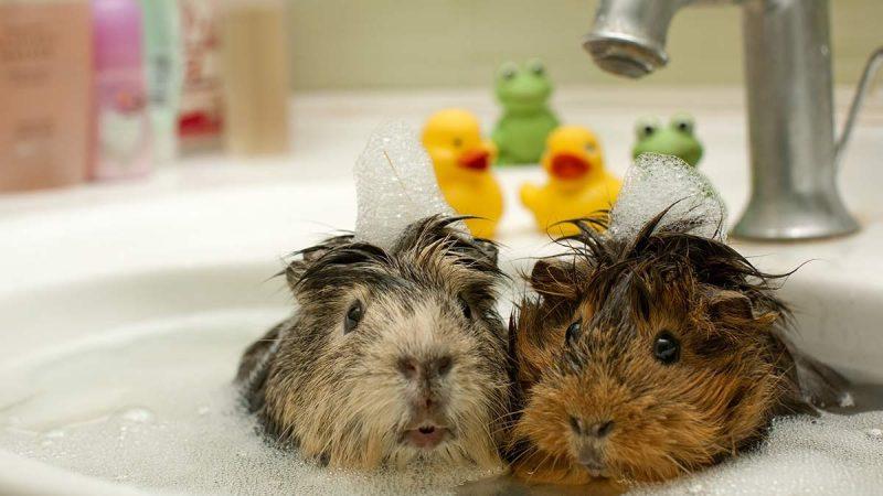 Best Guinea Pig Shampoo