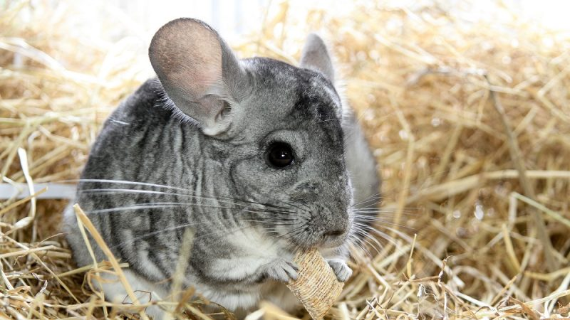 Best Chinchilla Foods