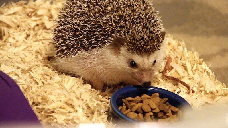 Best Hedgehog Foods