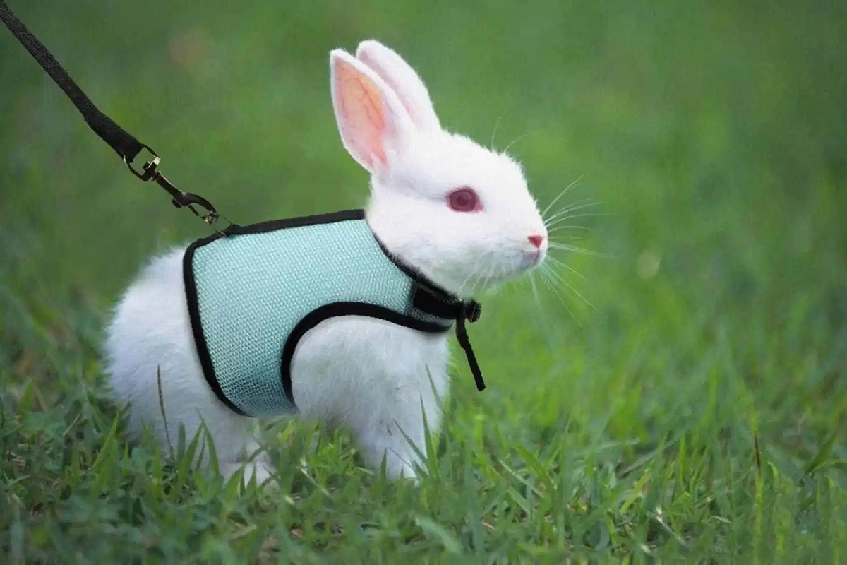 Best Rabbit Harnesses
