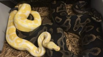 Best Bedding For Ball Pythons