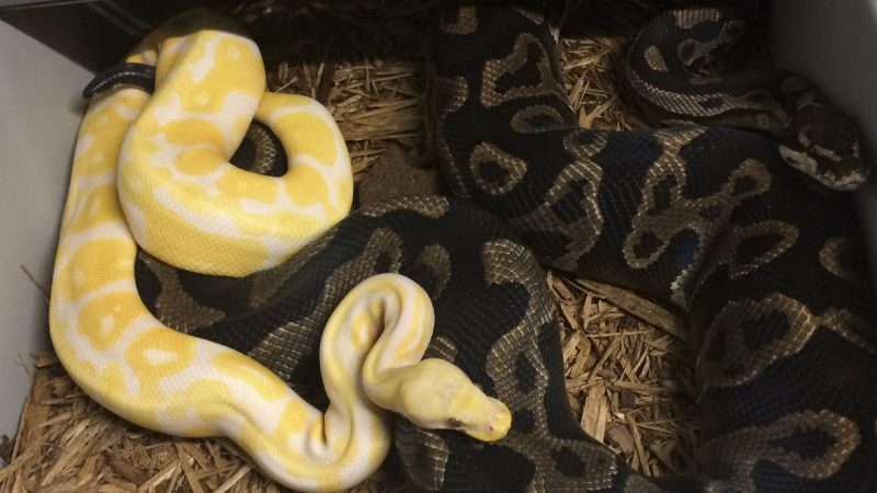 Best Bedding For Ball Pythons