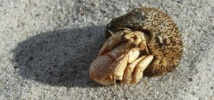 Hermit Crab Substrate