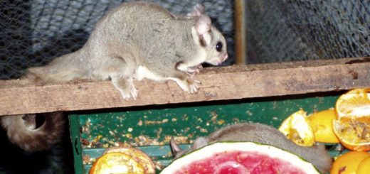 Sugar Glider Captivity in Cage