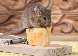 Trap Rat