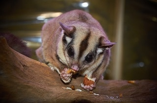 Best Sugar Glider Food & Diet