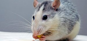 Rat Eating Food