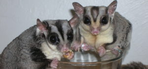 Sugar Gliders Eating Mealworms Food