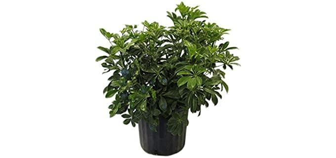 Amplex Schefflera Arboricola Green Live Plant - Chameleon Plants
