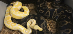 Bedding for Ball Python