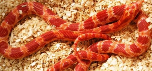 Corn Snake Substrate