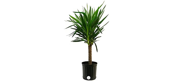 Costa Farms Yucca Cane - Plants for Chameleons