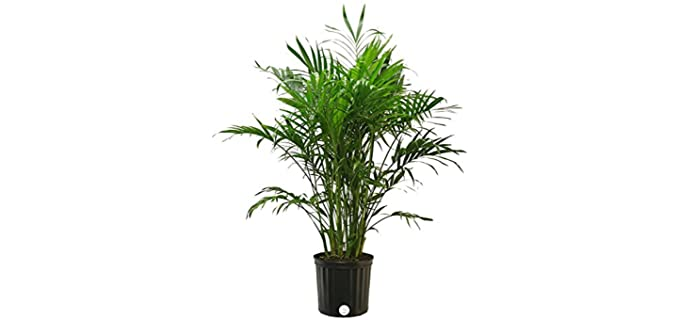 Costa Farms Neanthe Bella Parlor Palm - Chameleon Plant