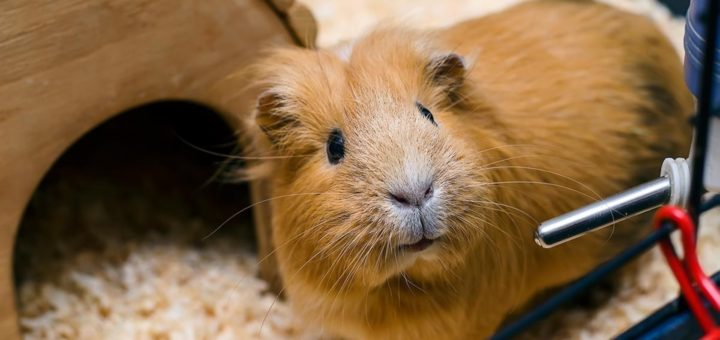 Guinea Pig Water Bottle