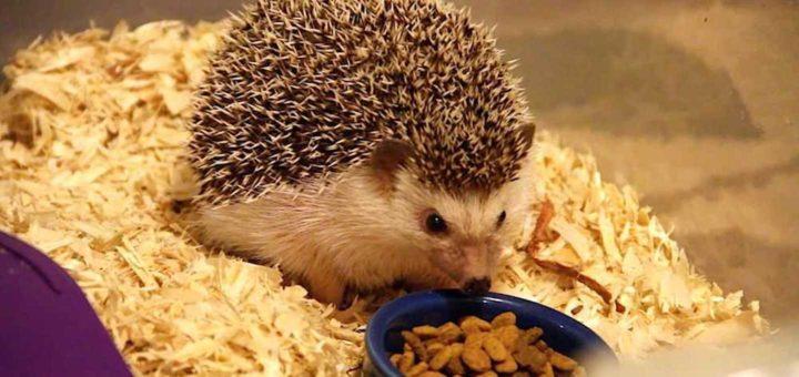Hedgehog Eating Food