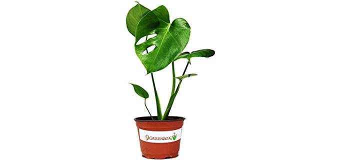 JM Bamboo Split Leaf Philodendron - Chameleon Plants