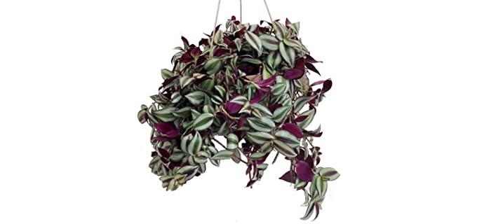 Hirt's Gardens Purple Wandering Jew - Plants for Chameleons