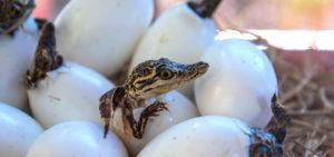 Reptile Egg Incubator Hatching