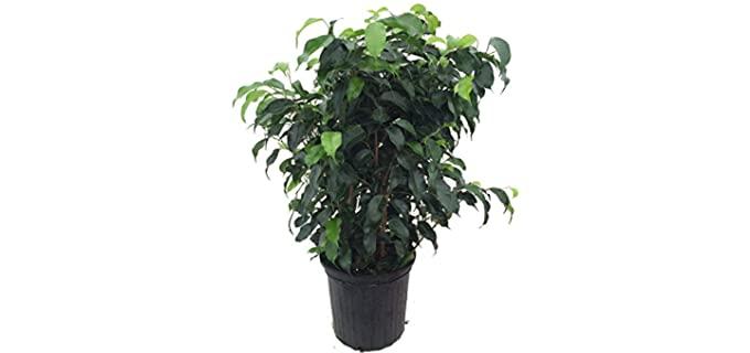 Hirt's Gardens Wintergreen Weeping Fig Tree - Plants for Chameleons