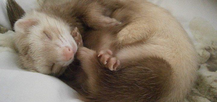 Ferret Bedding